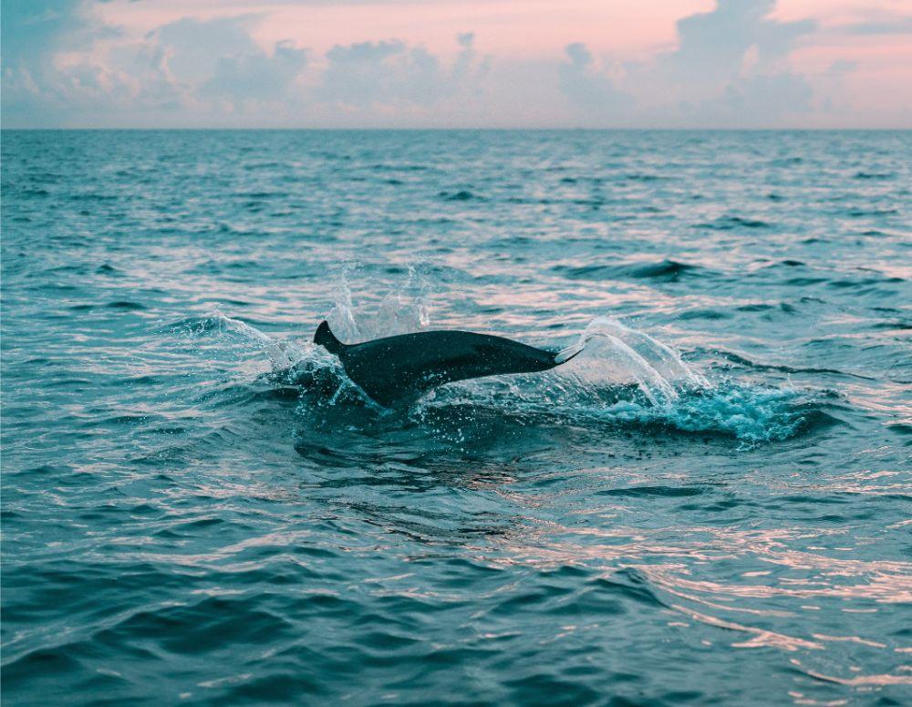 Dolfijnen spotten op de boeg van Boudicca