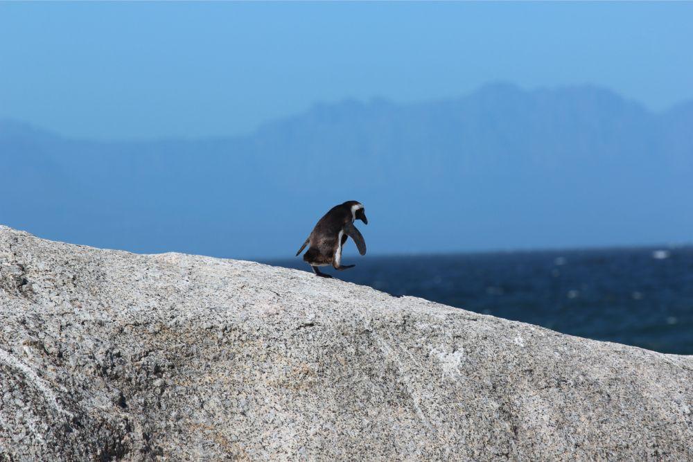Eenzame pinguïn in Kaapstad