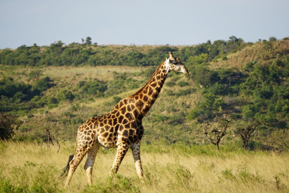Giraffe op safari in Zuid-Afrika