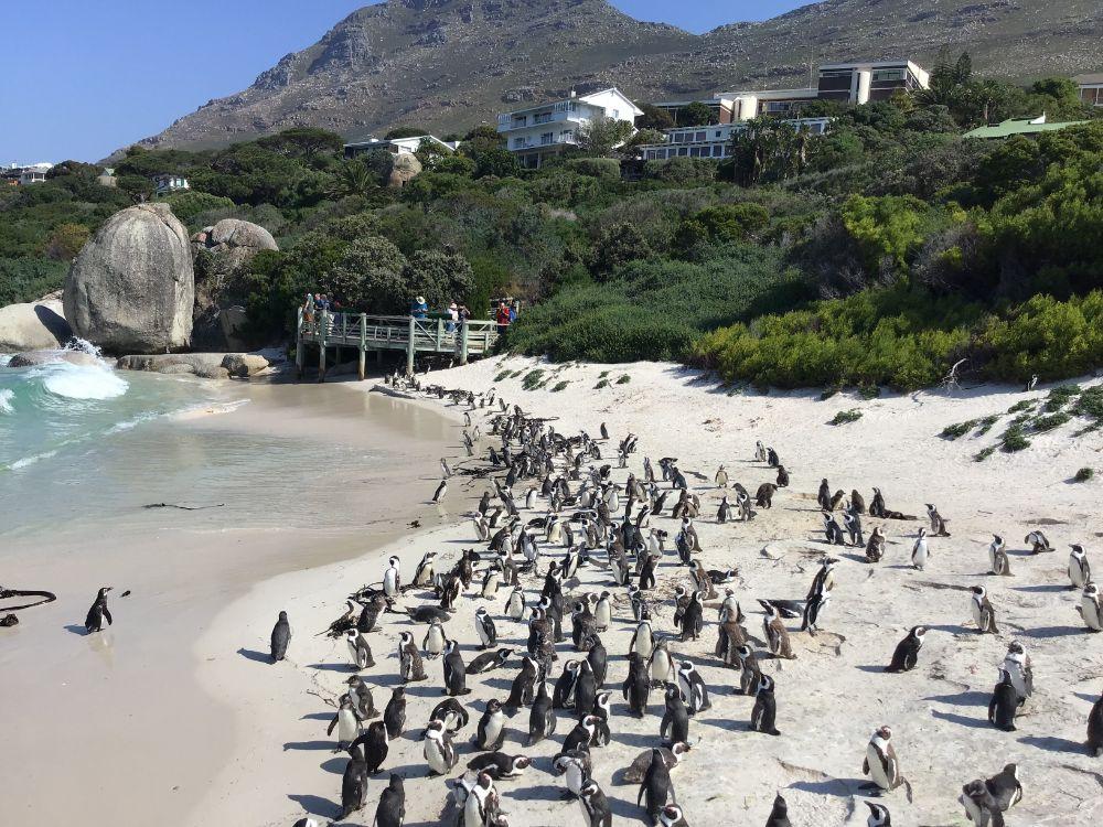 Heel veel pinguïns op Boulder Beach in Kaapstad