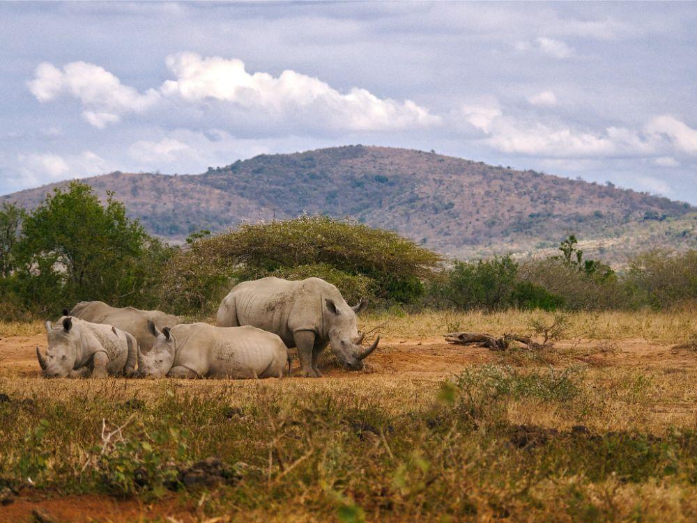 Neushoorns tijdens de game drive in Zuid-Afrika