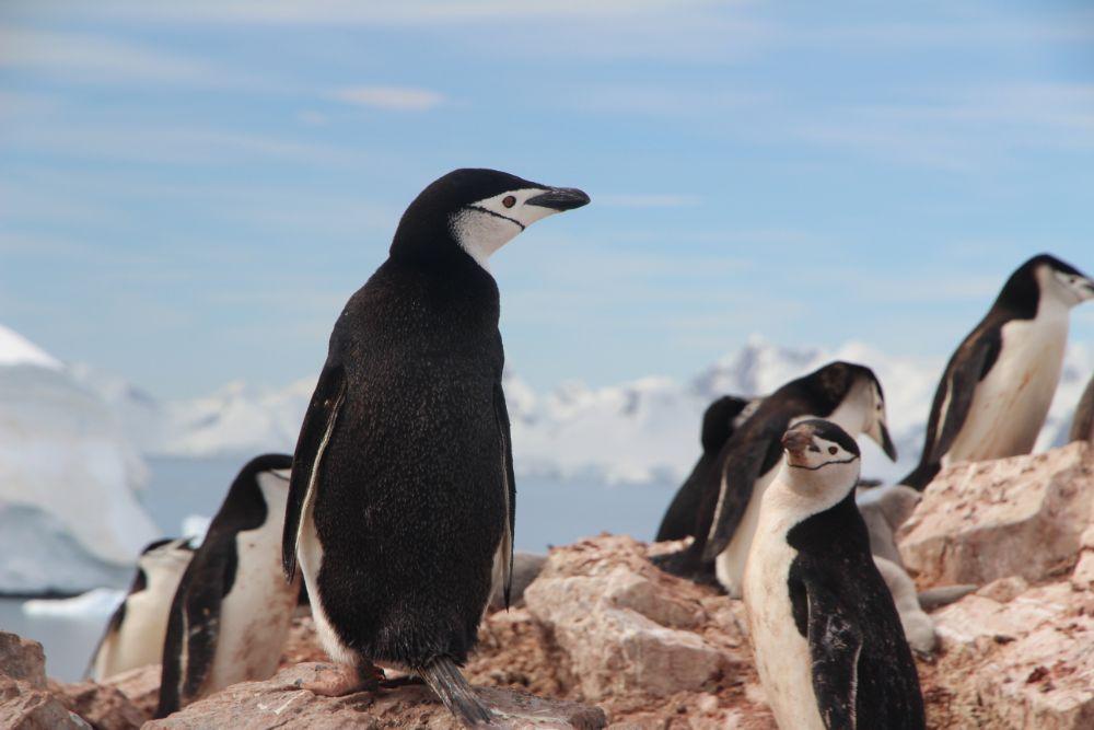 Cruise naar Antarctica - veel wildlife