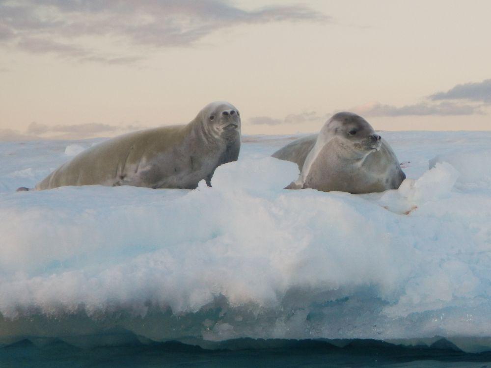 Robben en andere wilde dieren in het ijsparadijs